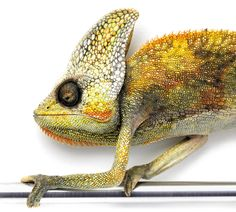 Amazing Photos Reveal How the Natural World Copies Itself   Veiled Chameleon. Madagascar.   Credit: Christopher Marley   From Wired.com