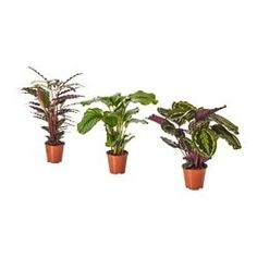 IKEA CALATHEA Potted plant Calathea/assorted 19 cm Decorate your home with plants combined with a plant pot to suit your style. Calathea, Ficus, Potted Plants, Cactus Plants, Indoor Plants Online, Luz Solar, Flower Boxes, Flowers, Windows