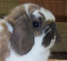Correct length and placement of Holland and Fuzzy Lop ears and crowns