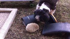 Hedgehogs meet Shih Tzu Barclay -Too cute!