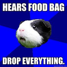 or in the case of my guniea pig hears something being cut with a knife or any bag rustle he squeels.