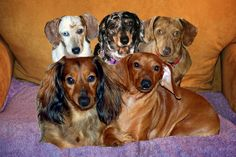 Photoshop Montage of five of our current, former and deceased Doxie dogs.  Left to right front row: Kimba and Peanut both males; back row: Pepper, Nala and Ginger all females.  Nala was our older grandma dog and passed away with cancer.  Pepper was one of our pups and was born deaf.  We finally found a suitable home for her and donated her to a deserving family.  Ginger, the mother of our pups, was adopted out to another family also.