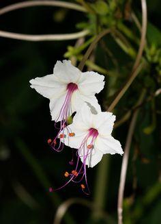 Mirabilis longiflora - Sweet Four O'Clock, Longtube Four O'Clock, Maravilla