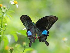 IMG_6933大琉璃紋鳳蝶Papilio paris nakaharai by 賞景者 Jeff Lin, via Flickr