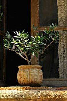 I also have a little olive tree in a little terra cotta pot