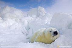 Лучшие фотографии дикой природы от National Geographic за октябрь 2014. Детеныш гренландского тюленя. Россия