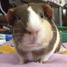 "Guinea pig named Mikay posing...she says ""Am I done now""?"