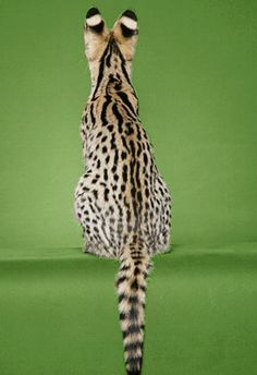 Savannah+Cat | Savannah cats