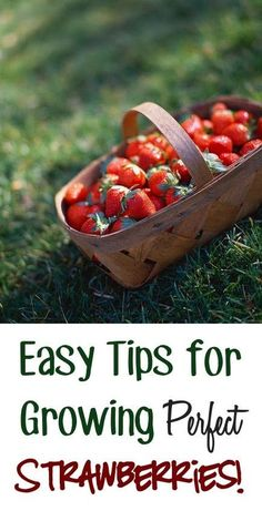 Easy Tips For Growing Perfect Strawberries! - My Favorite Things
