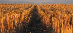 Farmers Have Many Reasons For Removing Straw From Their Fields And A Long-term Study Confirms The Practice Doesn't Hurt Yields As Long As It's Done In Moderation.