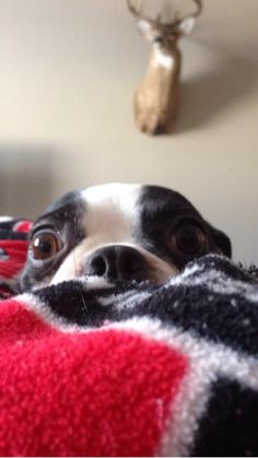 "Here is a funny photo of a Boston Terrier dog wondering what's behind him! ""It's Behind Me... Isn't It!?"""