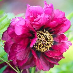 Tree Peony 'Pluto'.Named for the god of the underworld, this tree's deep red was the darkest color that tree peony breeder Nassos Daphnis achieved. Daphnis wrote that when the light hits the petals, the effect is reminiscent of stained glass.