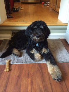 36 Best Bernedoodles Images Bernedoodle Puppy Dogs Puppies
