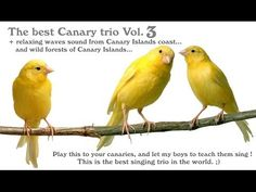 Canary singing - The best Canary trio in the world, canary training Vol. 3 ! - YouTube