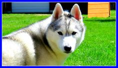WHY IS MY HUSKY NOT FLUFFY | #AskGTTSD | Fan Friday 255 Q&A