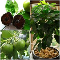 tropische früchte zu hause züchten Der Schokoladen-Apfelbaum♡