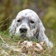 English Setter Puppies, English Setters, Irish Setter, Dog Days, Doggies, I Am Awesome, Best Friends, Vegan, Girlfriends