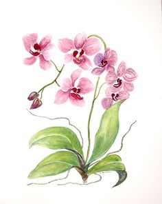 moth orchid coloring pages - photo#28