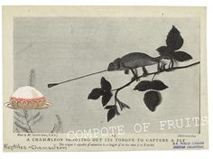 A CHAMELEON SHOOTING OUT ITS TONGUE TO CAPTURE A COMPOTE OF FRUITS  Gracia Haby collage 2007