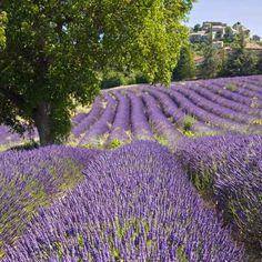 #lavande #provence #lothantique