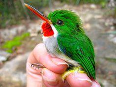 My favorite bird! Puerto Rican Tody.