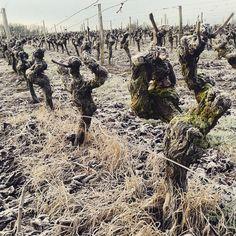 C'est l'heure de la taille! #vignes #vines #vinha #hiver #Winter #inverno #loirevalley #loirehiver