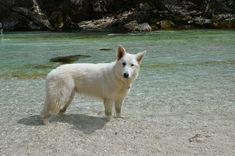 White Swiss Shepherd in the river