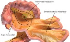 WHAT IS THE MESENTERY? The mesentery is a fold of the peritoneum which attaches the stomach, small intestine, pancreas, spleen, and other organs to the abdomen.