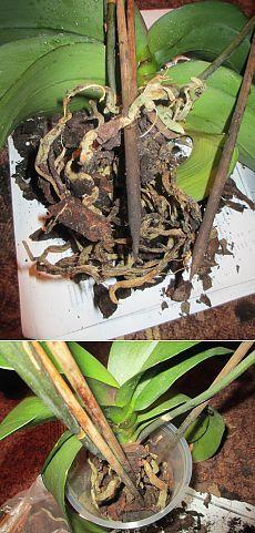 Что делать если сохнут корни орхидеи фаленопсис.
