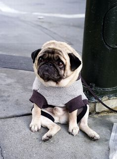 saddest pug in the world. awww