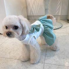 #🐶#チワプー  #チワワ  #トイプードル#chihuahua#小型犬#mix犬#dog#dogs#cute#love#lovely#family#animals#animal #insta#instabeauty#instagood#instalike#instalove#instalovers#instalook#instamood#pic#photo#pretty#instadog#愛犬