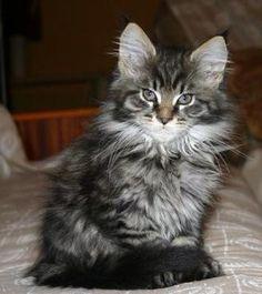 Siberian x Maine Coon kitten