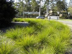 TANIKA Lomandra longifolia 'LM 300'   Bluedale