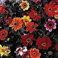 Dahlia 'Bishops Children' Seeds £2.99 from Chiltern Seeds - Chiltern Seeds Secure Online Seed Catalogue and Shop