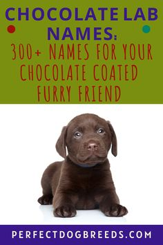 So you have a new Chocolate Lab and now you want to come up with a unique name. Perfect Dog Breeds knows it is not always easy to come up with a good name so we have come to the rescue! Check out our extensive list of 300+ names for your favorite furry friend. We have included names for both male and female Labs and have categories for the best names as well as the cutest names. We believe you will find the right name from our lengthy list. Download here. #chocolatelab #dognames #labradors Cute Names, Unique Names, Puppy Names, Dog Names, Large Dog Breeds, Large Dogs, Most Popular Dog Breeds, Chocolate Coating, Labrador Dogs