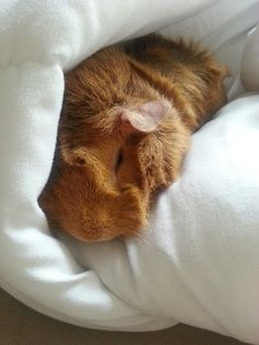 I wish I could catch my guinea pig sleeping.
