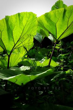 Love this shot from Tez of Not Always Picture Perfect. The veins are just beautiful! Plant Leaves, Shots, Photo And Video, Spring, Plants, Pictures, Beautiful, Photos, Plant