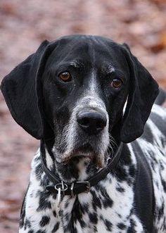 El Braco de Auvernia es un perro fuerte, de entre 53 y 63 cm a la cruz con una cabeza grande, orejas largas y labios pendulantes. Suele cortársele la cola hacia la mitad de su longitud. Su manto corto y lustroso es blanco con motas negras que dan una impresión azulada junto con otras manchas negras grandes. La cabeza y las orejas son siempre negras.