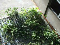 45 dias de plantado. Jardín vertical.Palermo BaAs. #grjardinesurbanos