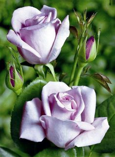 Captivating Why Rose Gardening Is So Addictive Ideas. Stupefying Why Rose Gardening Is So Addictive Ideas. Beautiful Rose Flowers, Love Rose, Amazing Flowers, Beautiful Flowers, Purple Flowers, Red Roses, Lavender Flowers, Photo Rose, Ronsard Rose