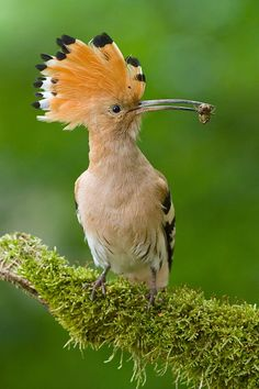 """""""For years I have traveled by sea and by land. I have covered vast distances and I know many secrets"""" Hoopoe, The Conference of the Birds"""