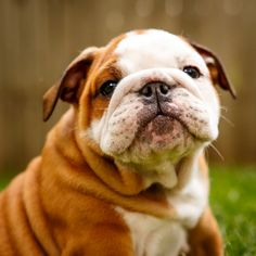 English Bulldog Pups to Make You Smile on Behance
