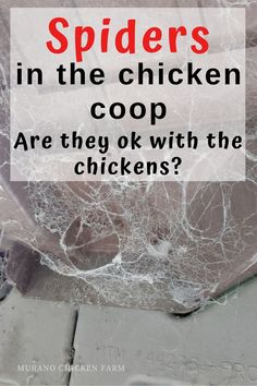 Are spiders in the chicken coop a problem? How can I get rid of them? if you're seeing spiders in your coop and want to get rid of them, read on. Here are my top 6 tips on keeping spiders out of the chicken coop, Keeping Chickens, Raising Chickens, Pet Chickens, Backyard Chickens, Summer Chicken, Guinea Fowl, Building A Chicken Coop, Chicken Coops, Spiders