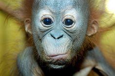 kingdom-of-animals:Orangutan by floridapfe on Flickr.