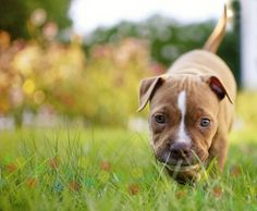 Pitt puppy - Pitts are wonderful family members.  They just want to be loved.