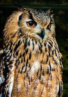This is one of a number of photos taken at the Scottish Owl Centre in Polkemmet Country Park, West Lothian between Glasgow and Edinburgh. The centre provides a great opportunity to see many different breeds of owl and also puts on a presentation of some of the birds in flight.