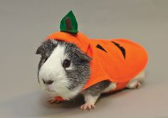 This has inspired me to dress up my guinea pig for halloween...