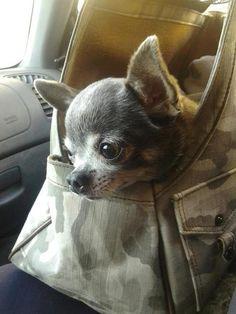 Baby Chihuahua                                                                                                                                                                                 More