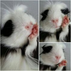 I have a black and white guinea pig. She looks just like this one.