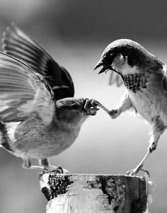 Photo Noir et Blanc - Birds crack me up no guesses what was going on there but someone needs to tell the bully Family Violence, Its not ok !